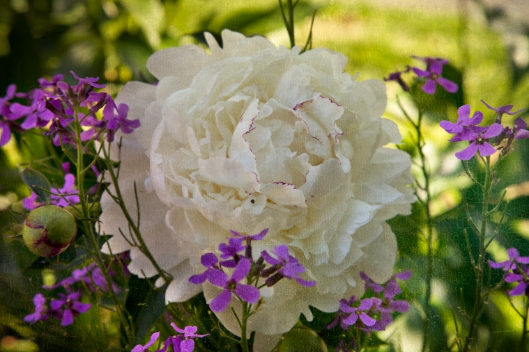 Peony with Flypaper Texture