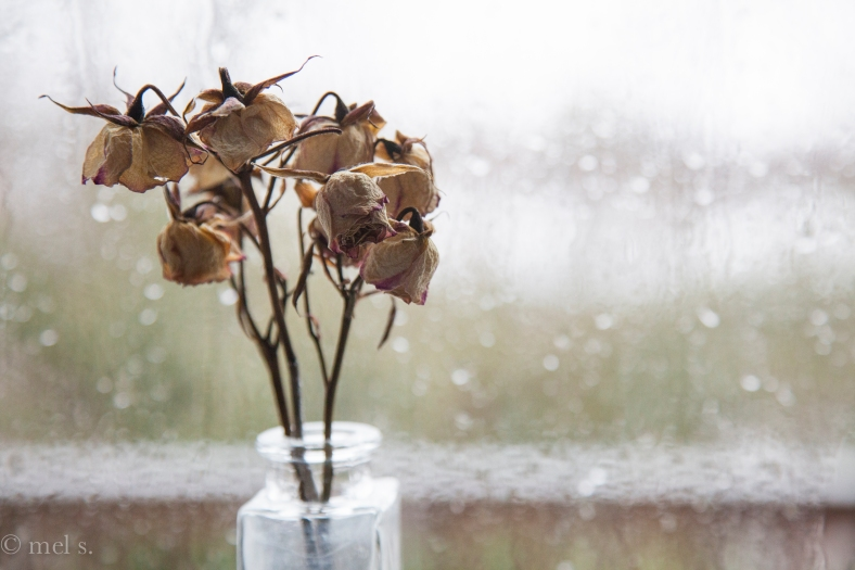 Dried Roses against Icy Rain Window
