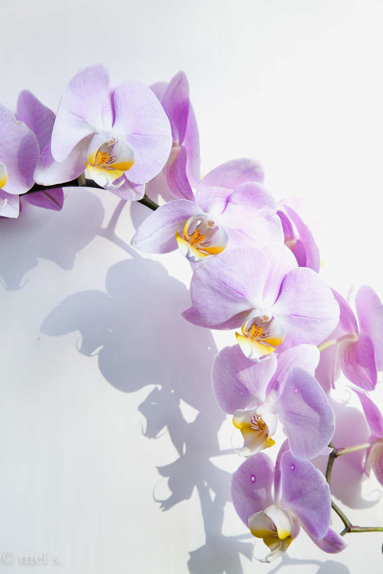 orchid cascade 9181