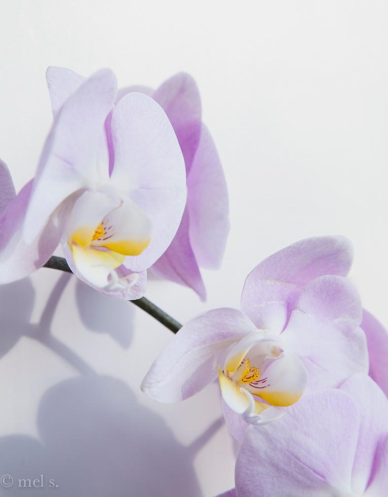 Pale orchids 9190