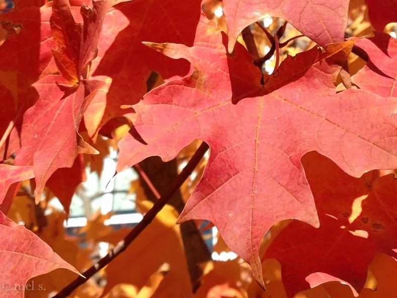 Red Leaf 0641