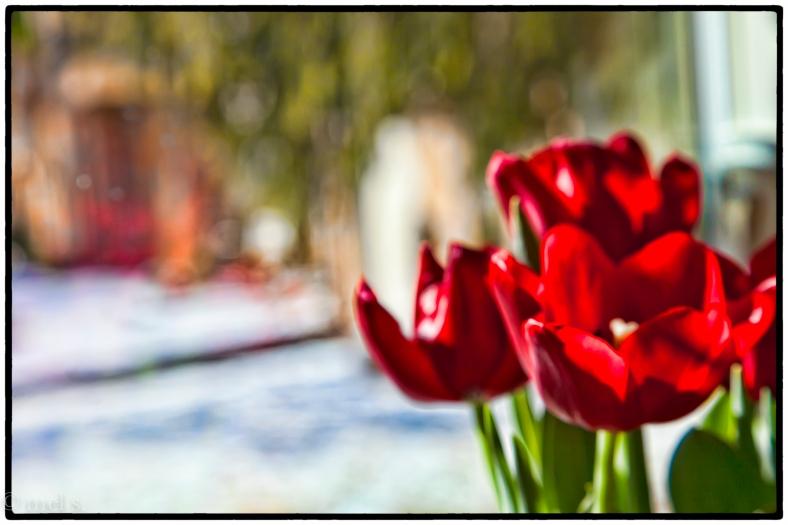 Tulips--Painterly Filter