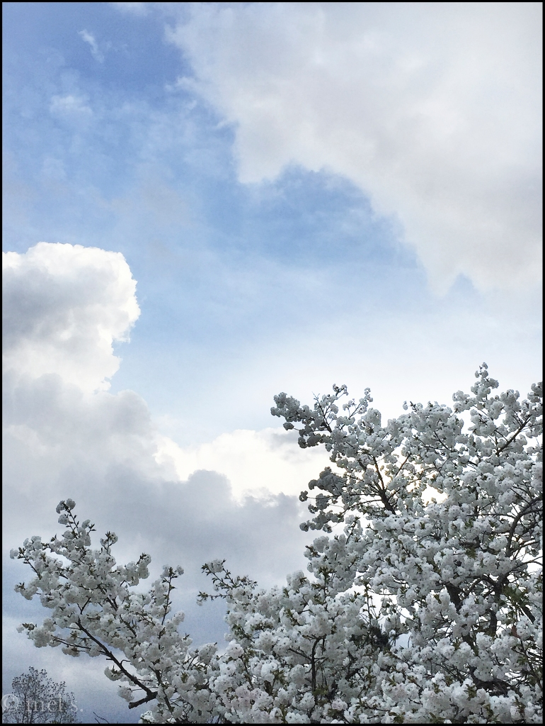 Apple Blossom Clouds