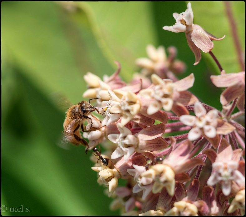 Bee in the milkweed, Brewster, MA, 2015