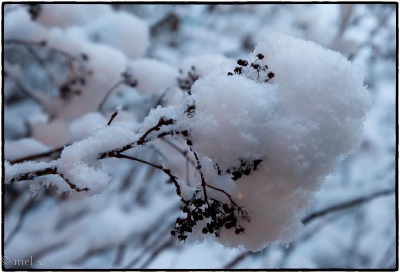 Snowbud 3180.jpg